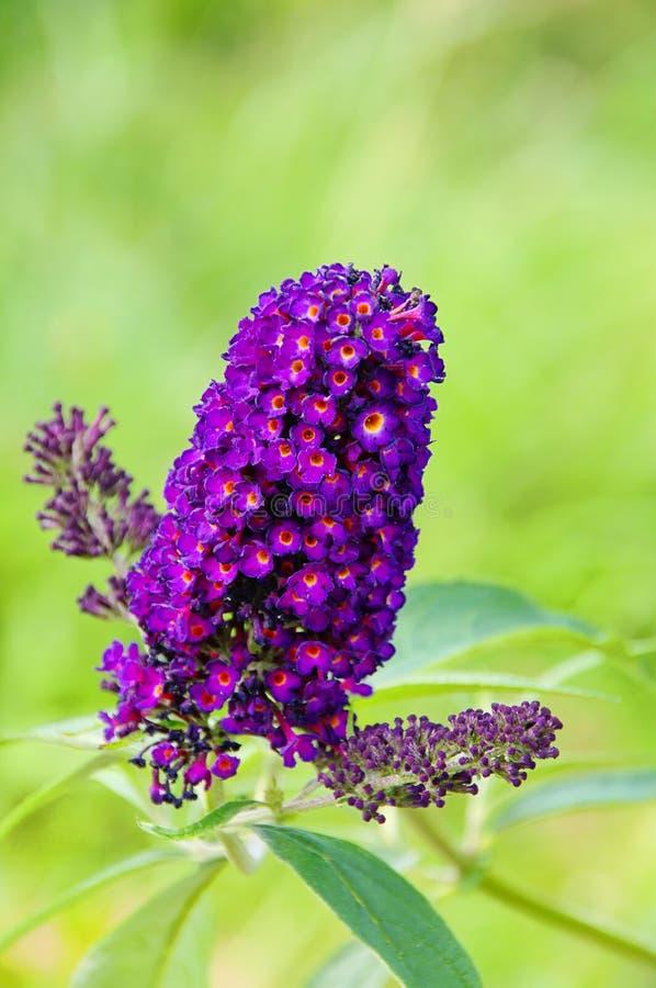 Butterfly bush. Purple butterfly bush in summer royalty free stock photography