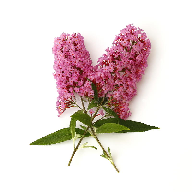 Butterfly bush. On white background stock photography