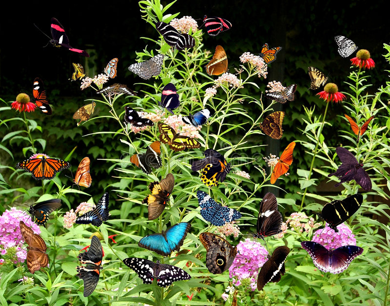 Butterfly bush. A collection of fourty five butterflies placed on a butterfly bush. each one was extracted from individual pictures stock image
