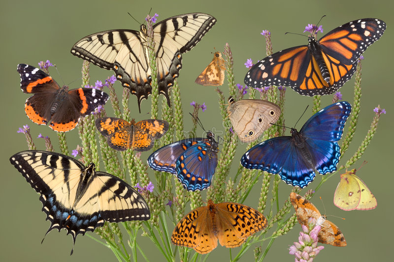 Download Butterfly bush stock image. Image of lady, purples, swallowtails - 3918619