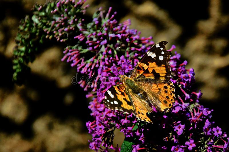 Butterfly bush with butterfly. Butterfly bush with beautiful colored butterfly stock images