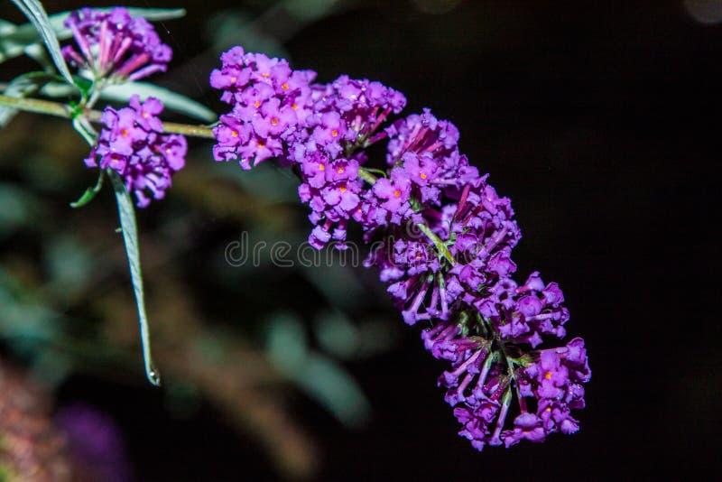 Butterfly bush. Buddleia davidii in the garden stock image