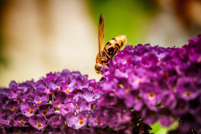 Butterfly bush. Buddleia davidii in the garden stock photo
