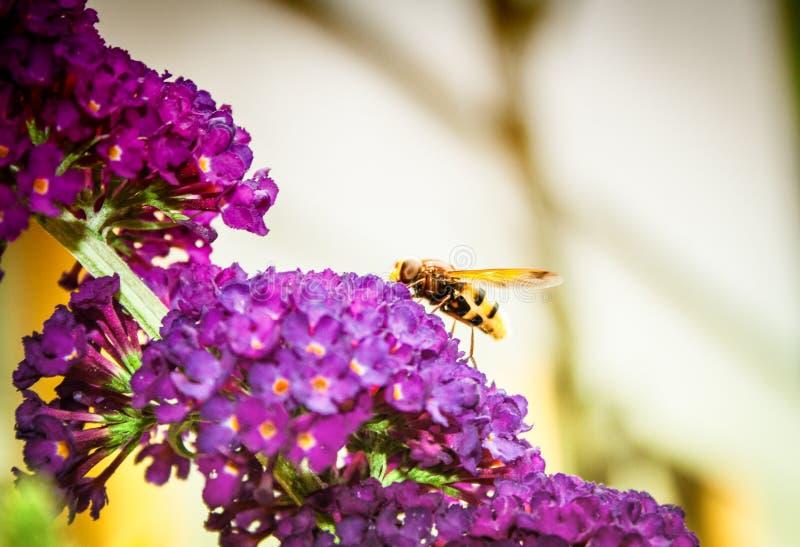 Butterfly bush. Buddleia davidii in the garden royalty free stock photos
