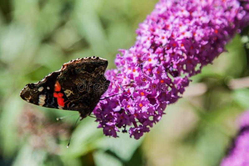 Butterfly bush. Buddleia davidii in the garden royalty free stock photography