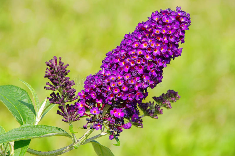 Butterfly bush. Purple flower in summer royalty free stock images