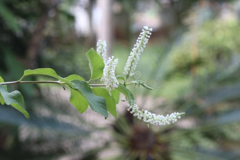 Butterfly Bush or Rachavadee. Are perfumed or the flower of stock image
