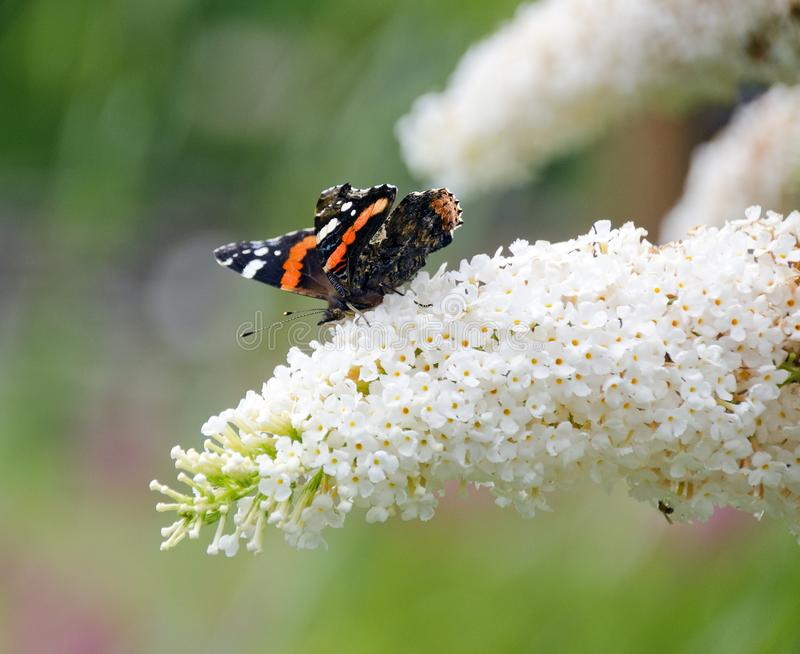 Butterfly on butterfly-bush. Red admiral butterfly on the flowers of a white butterfly-bush stock photography
