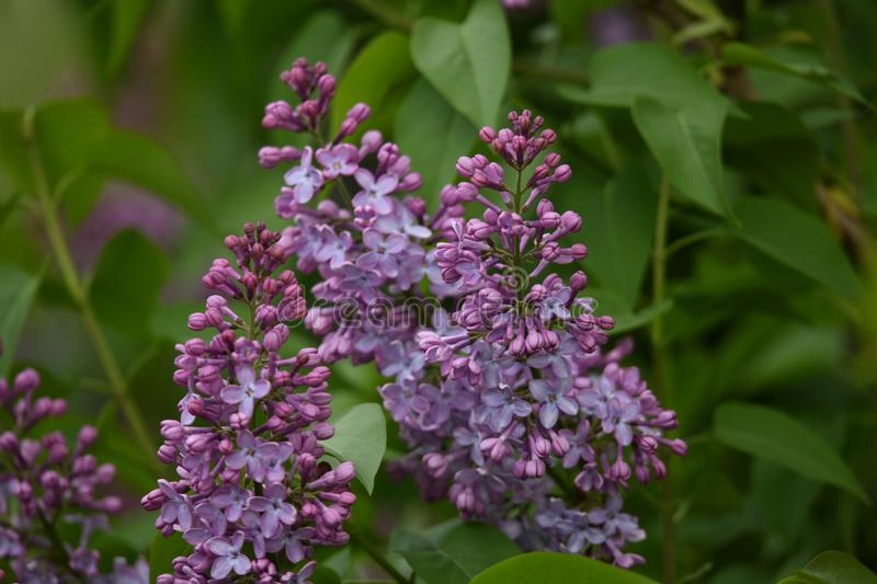 Butterfly bush on the side of the road. Spring is there, this butterfly bush is in bloom, beautiful purple color stock photography