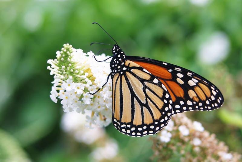 Butterfly on Butterfly Bush. Beautiful butterfly with wings spreaded on butterfly bush royalty free stock photo