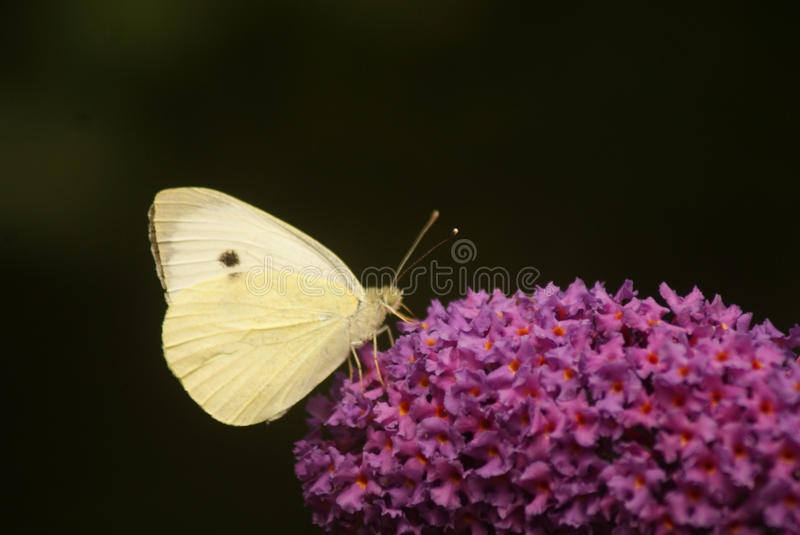Butterfly on butterfly-bush. White butterfly on butterfly-bush stock images