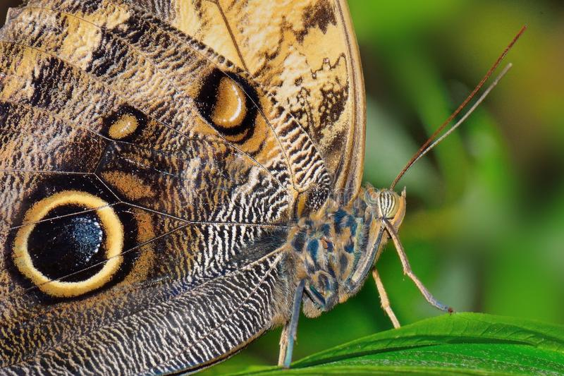 Butterfly Caligo idomeneus royalty free stock images