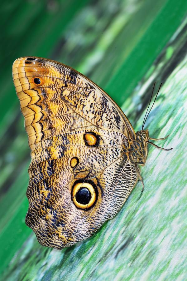 Butterfly Caligo idomeneus stock photography