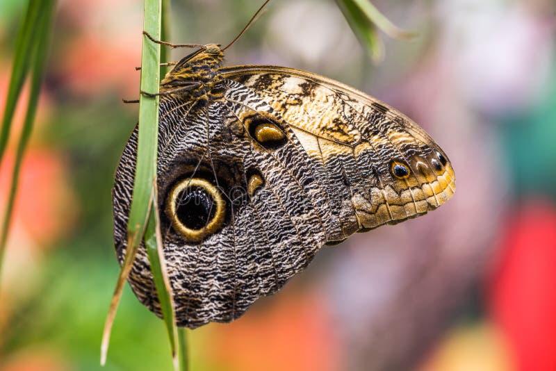 Butterfly Caligo Rurilochus stock photos