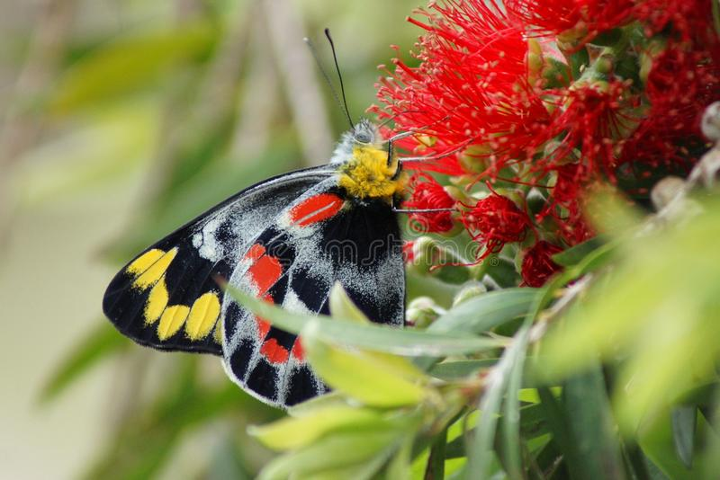 Butterfly on Calistemon Flower. Without the Aussie native bees and butterflies we wouldn't have a flower industry, let alone life as we know it. Australia royalty free stock image