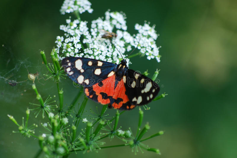 Butterfly Callimorpha dominula royalty free stock photo