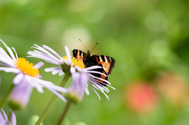 The butterfly on a camomile royalty free stock image
