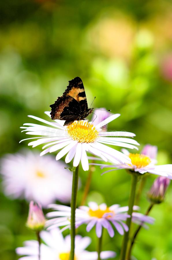 The butterfly on a camomile-2 royalty free stock image