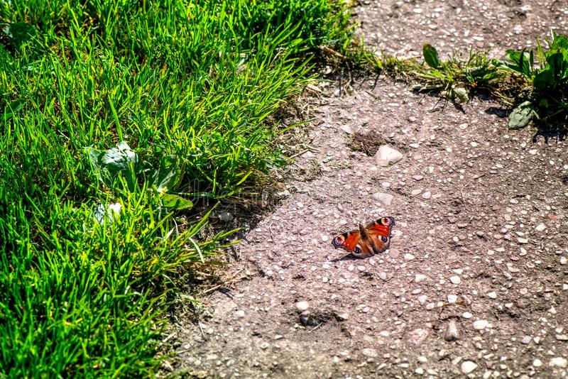 Butterfly catcher. Outdoor activities in summer. Shot of brown, colorful butterfly with spread wings, sitting on concrete path next to green grass. Romantic stock photos