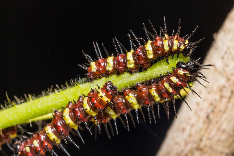 Butterfly caterpillar. Close up of early stage caterpillar of leopard lacewing (Cethosia cyane euanthes) butterfly on its host plant stem stock photo