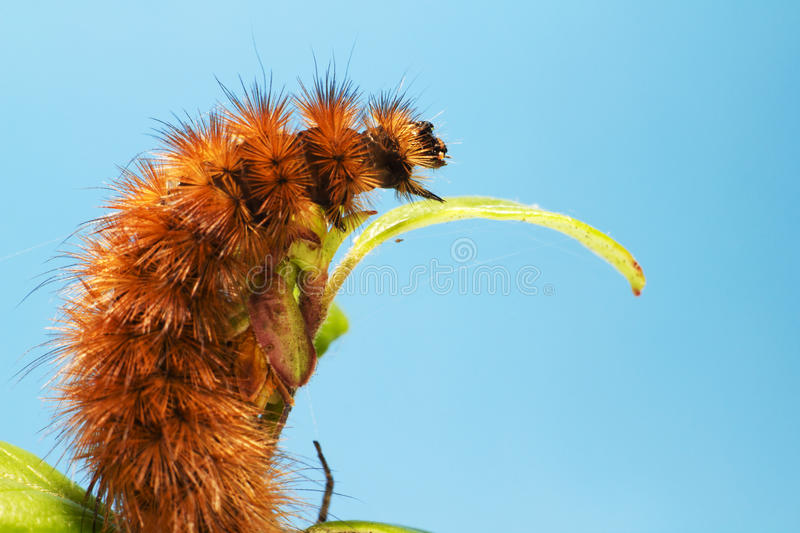 The Ruby Tiger caterpillar stock images