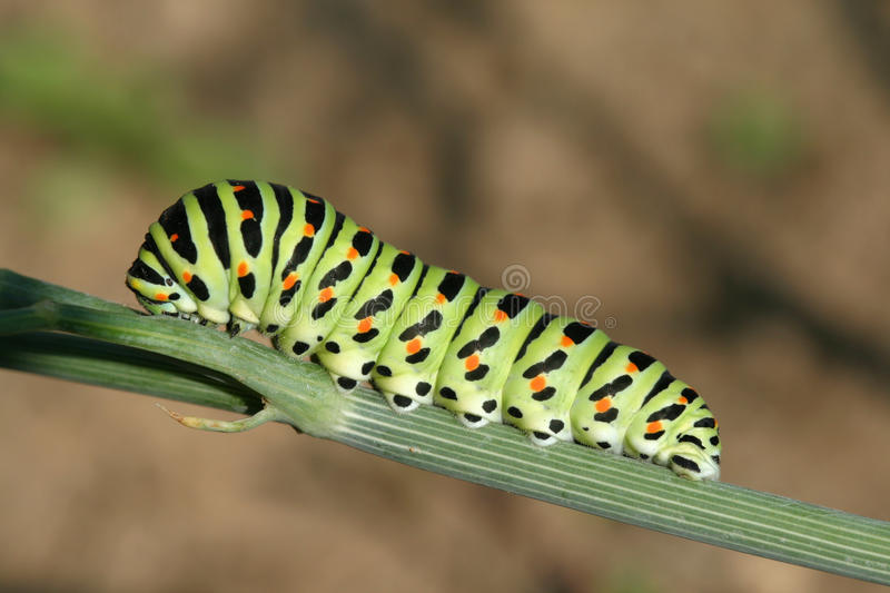 Butterfly catterpillar. Catterpillar of Old World Swallowtail (Papilio machaon) butterfly royalty free stock images