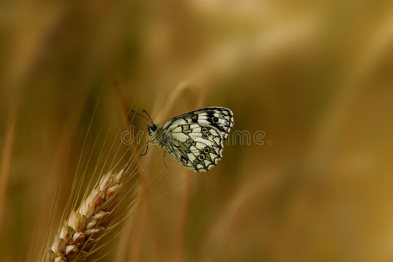 Download Butterfly on cereals stock image. Image of migratory - 39256975