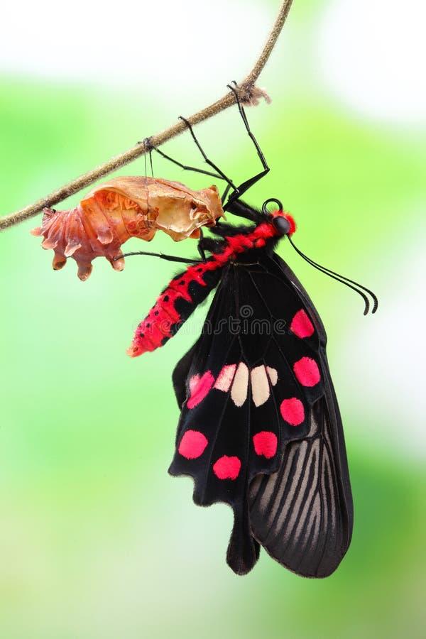 Butterfly change form chrysalis. Amazing moment about butterfly change form chrysalis - red, Pachliopta stock image