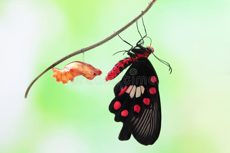 Butterfly change form chrysalis. Amazing moment about butterfly change form chrysalis - red, Pachliopta royalty free stock photography