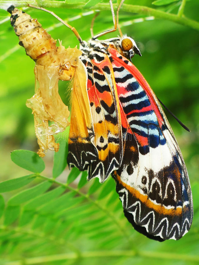 Butterfly Chrysalis royalty free stock image