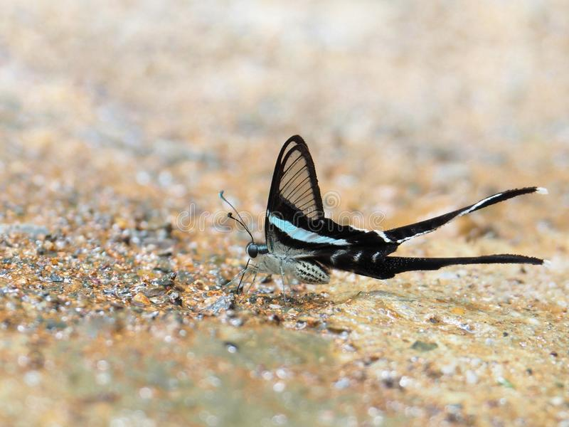 Butterfly, clear wings and long tail.On a wet concrete floor It is called Green Dragontail royalty free stock photos