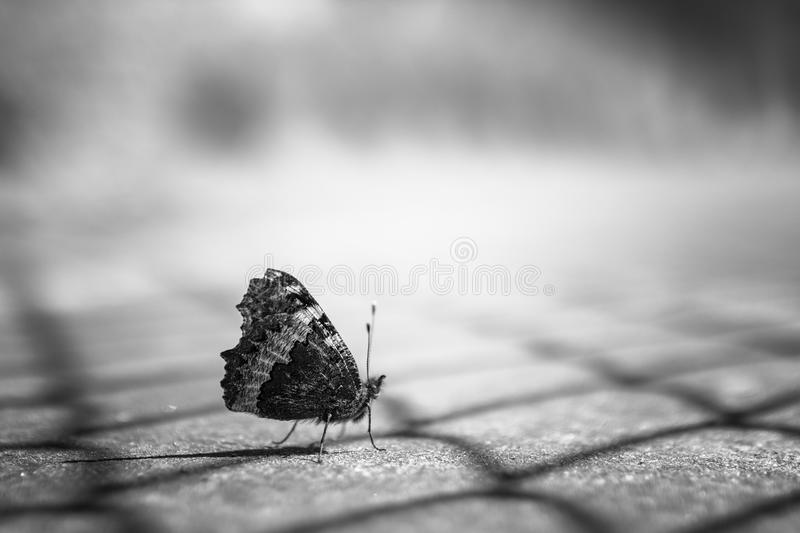 Butterfly. Close up of a butterfly in black and white, on blurry background royalty free stock photography