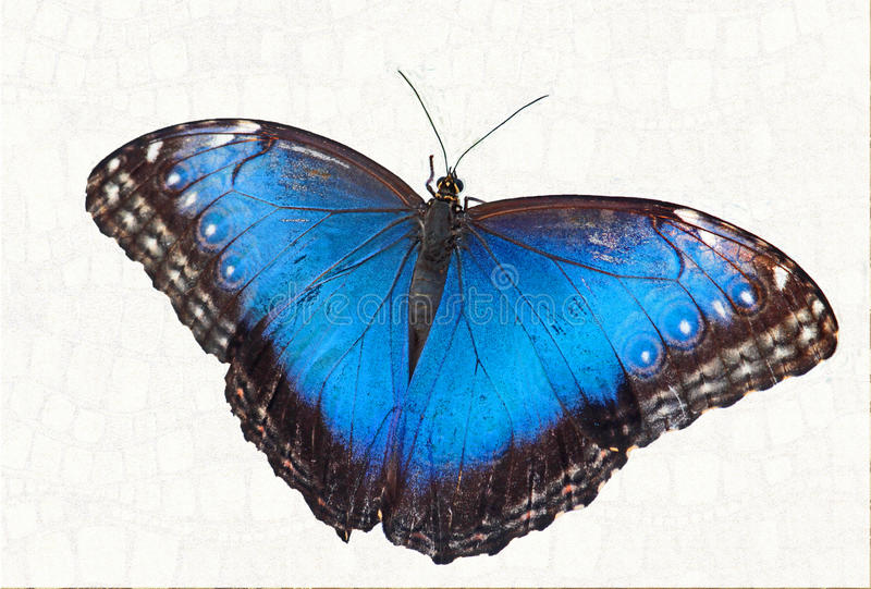Butterfly. Close Up Detail Of Blue Morpho Butterfly Isolated stock photo