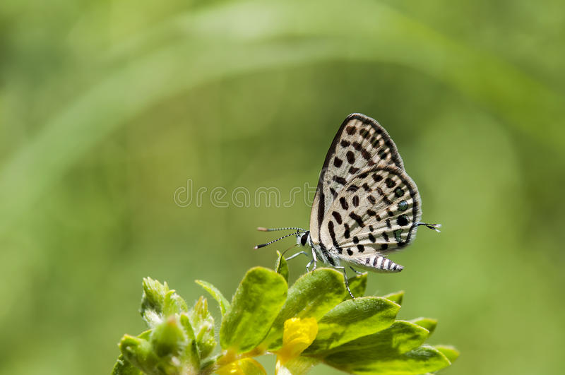 Butterfly close up of Spotted Pierrot royalty free stock photo