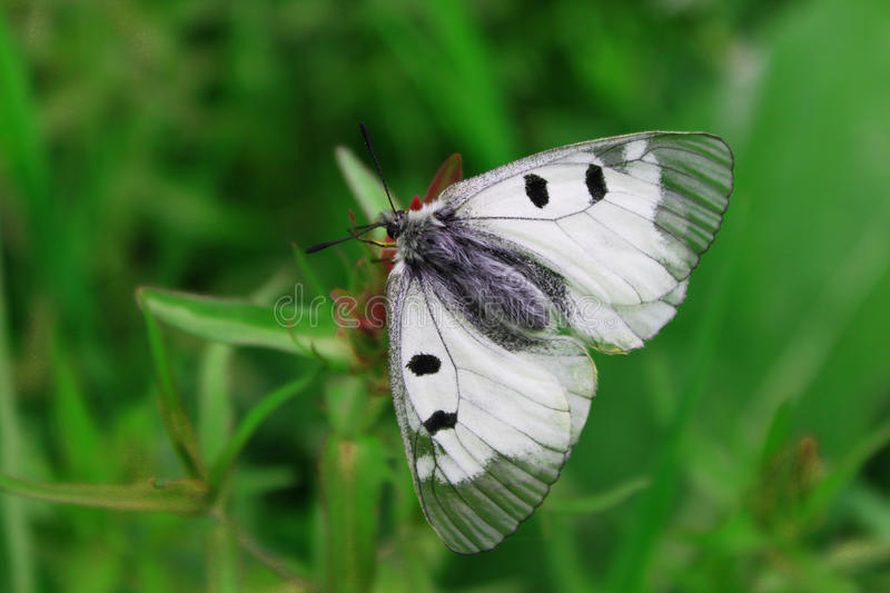 Butterfly on the clover flower stock image