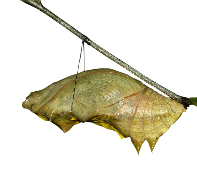 Butterfly cocoon stock photo