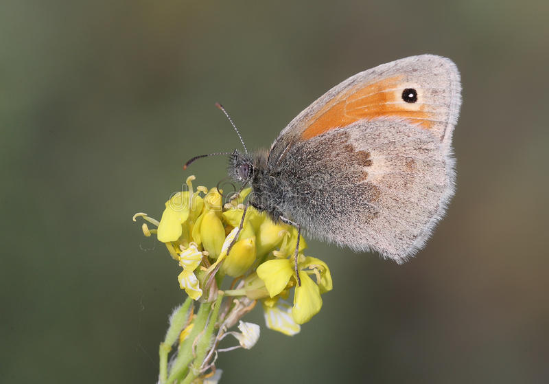 Butterfly Coenonympha pamphilus stock images
