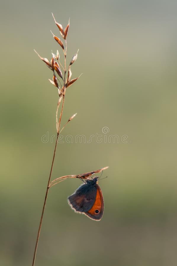 Butterfly Coenonympha pamphilus sits on a blade of grass in the meadow. Before sunset royalty free stock image