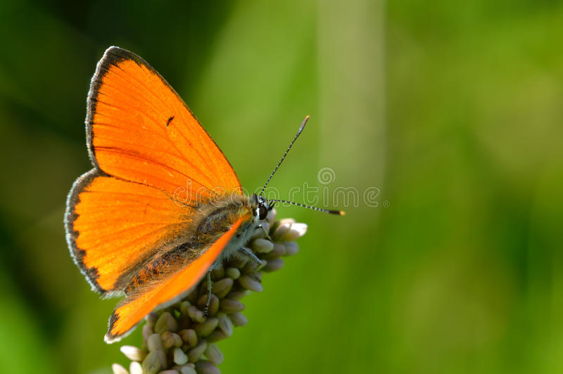 Butterfly colias croceus royalty free stock photo