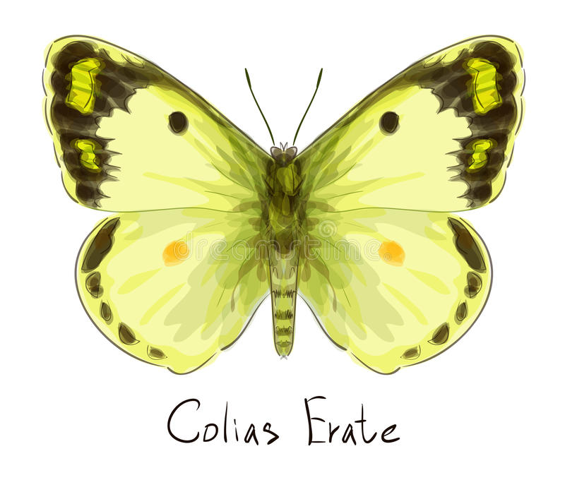 Download Butterfly Colias Erate. Stock Photo - Image: 25619220