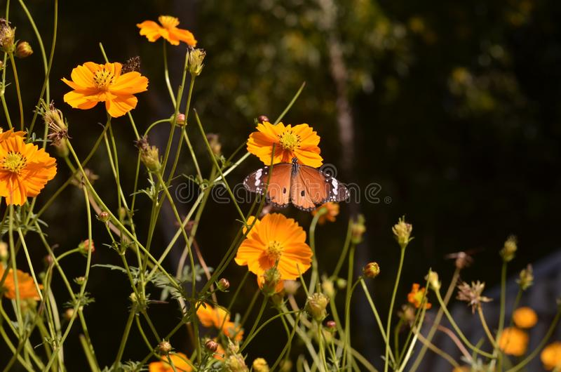 Butterfly. Collect sweet honey for energy royalty free stock photo