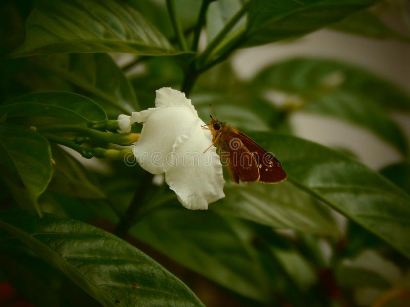 A butterfly collecting honey. A brown butterfly sat on a white flower and collecting honey royalty free stock photo