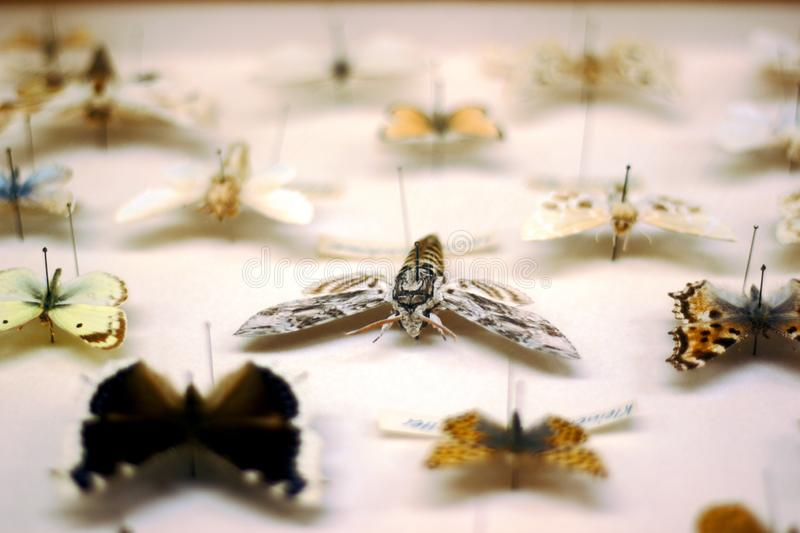 Butterfly collection. Privet hawk moth in focus royalty free stock photos