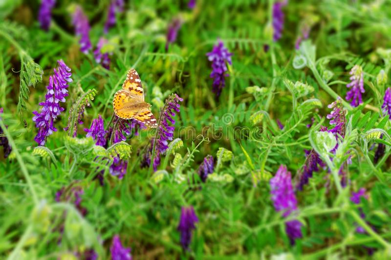 Butterfly collects nectar royalty free stock images