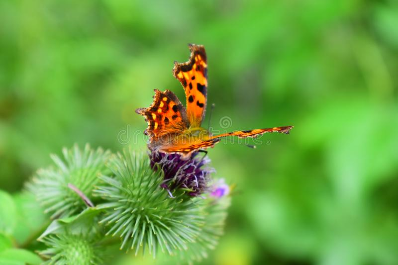 A butterfly collects nectar on a flower stock photography