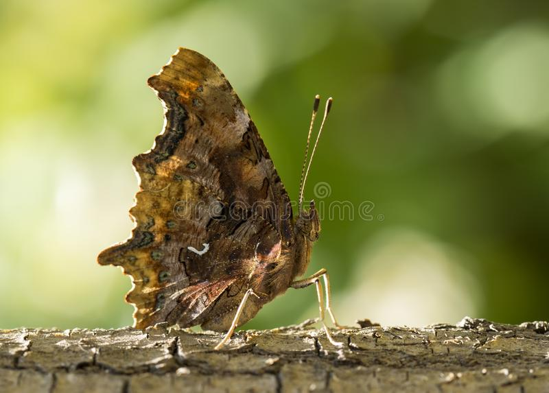 Butterfly in nature. royalty free stock photos