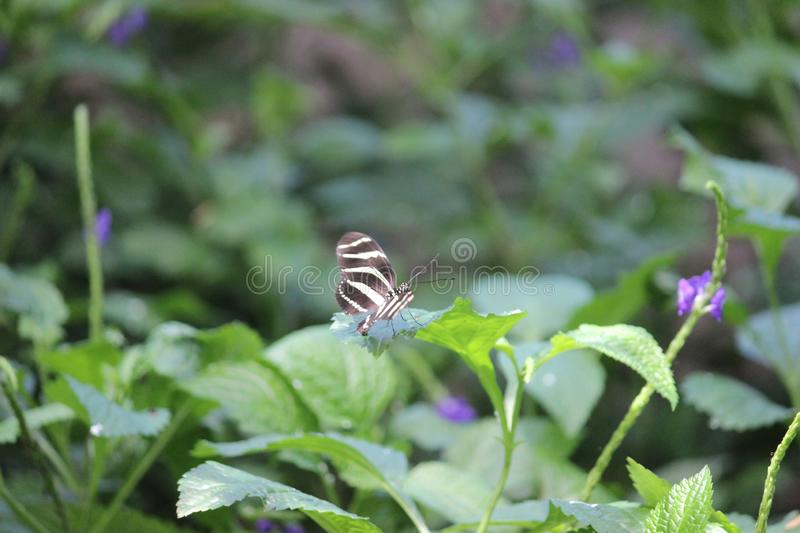Butterfly Conservatory near Niagara falls in Canada. Discover thousands of freely flying exotic butterflies in a lush tropical garden.Located on the grounds of royalty free stock images