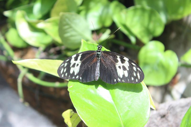 Butterfly Conservatory near Niagara falls in Canada. Discover thousands of freely flying exotic butterflies in a lush tropical garden.Located on the grounds of stock photography