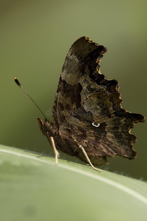 Butterfly on corn sheet stock photos