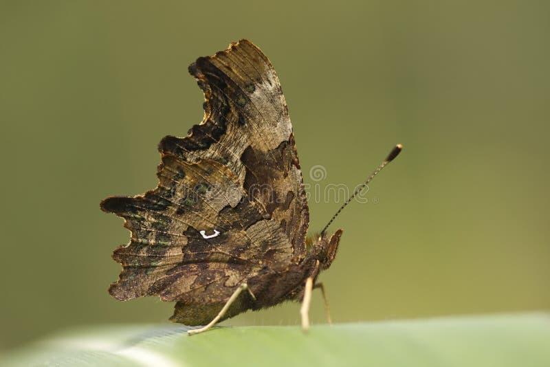 Butterfly on corn sheet stock photo